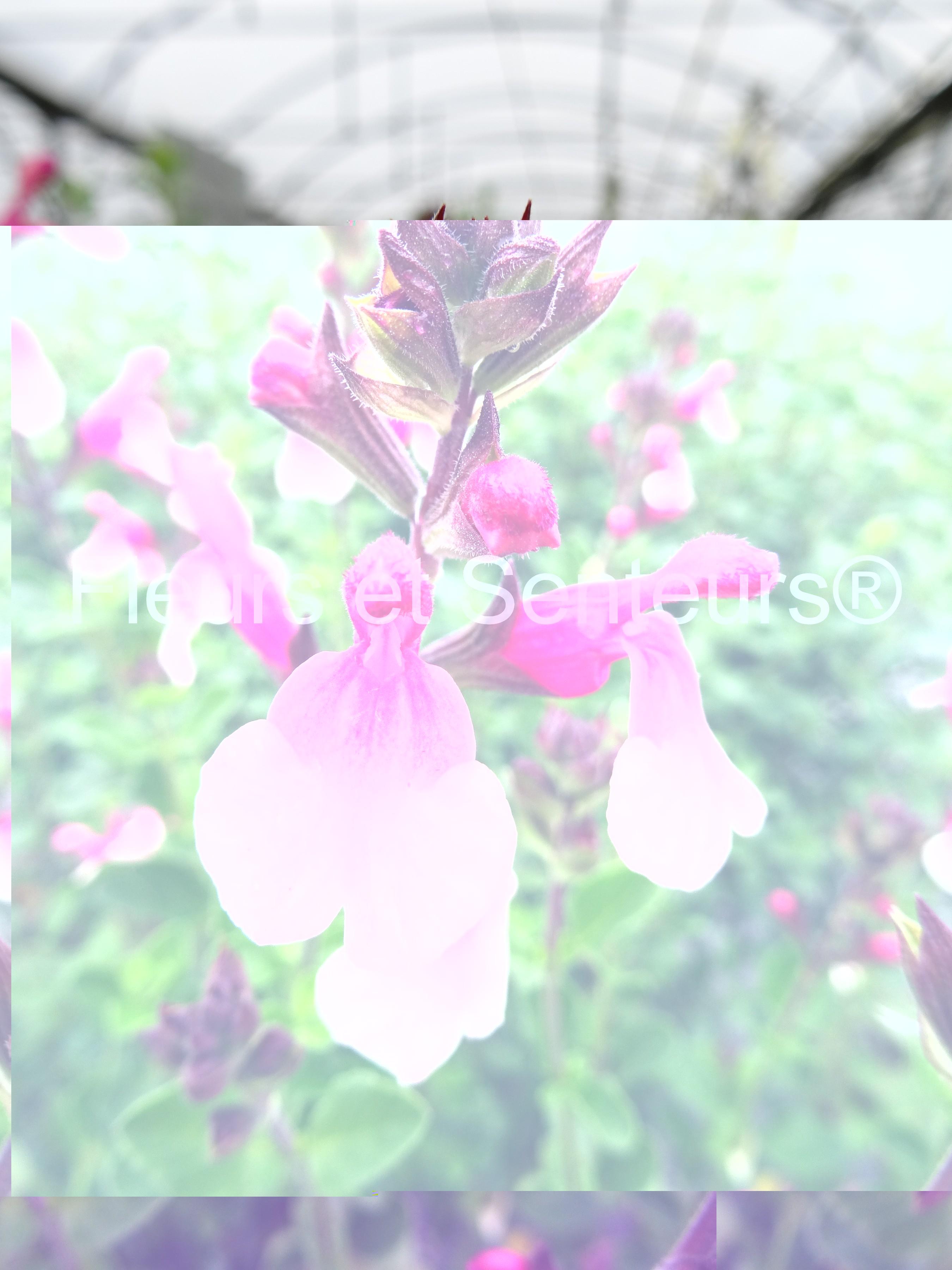 salvia microphylla Shell Dancer