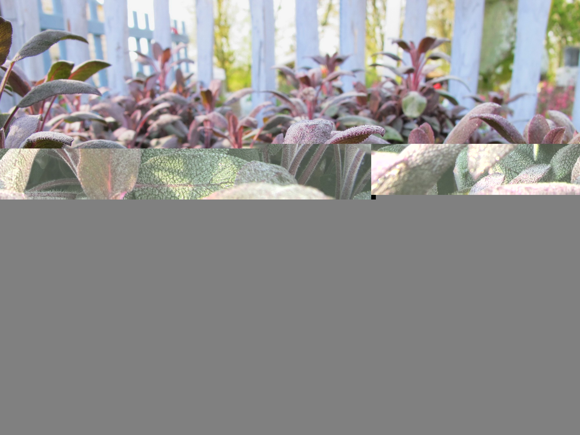 salvia officinalis purpurescens