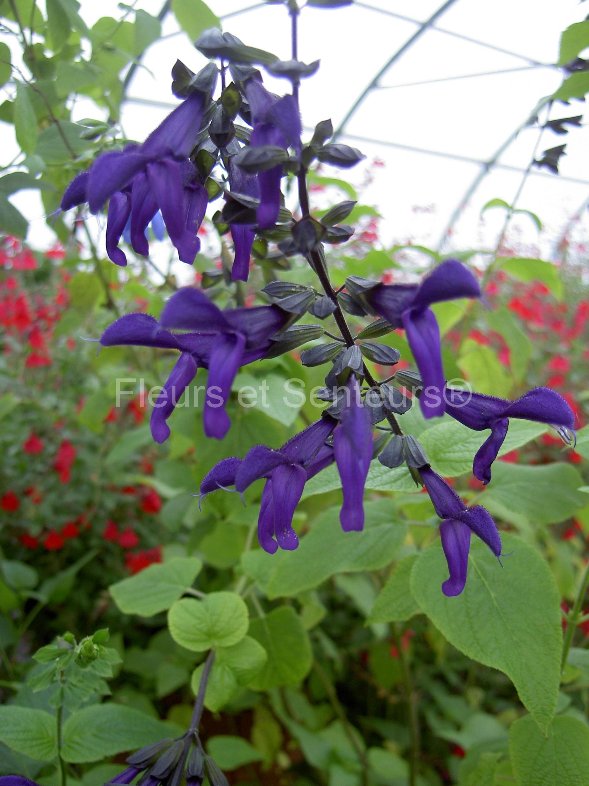 salvia Purple Majesty