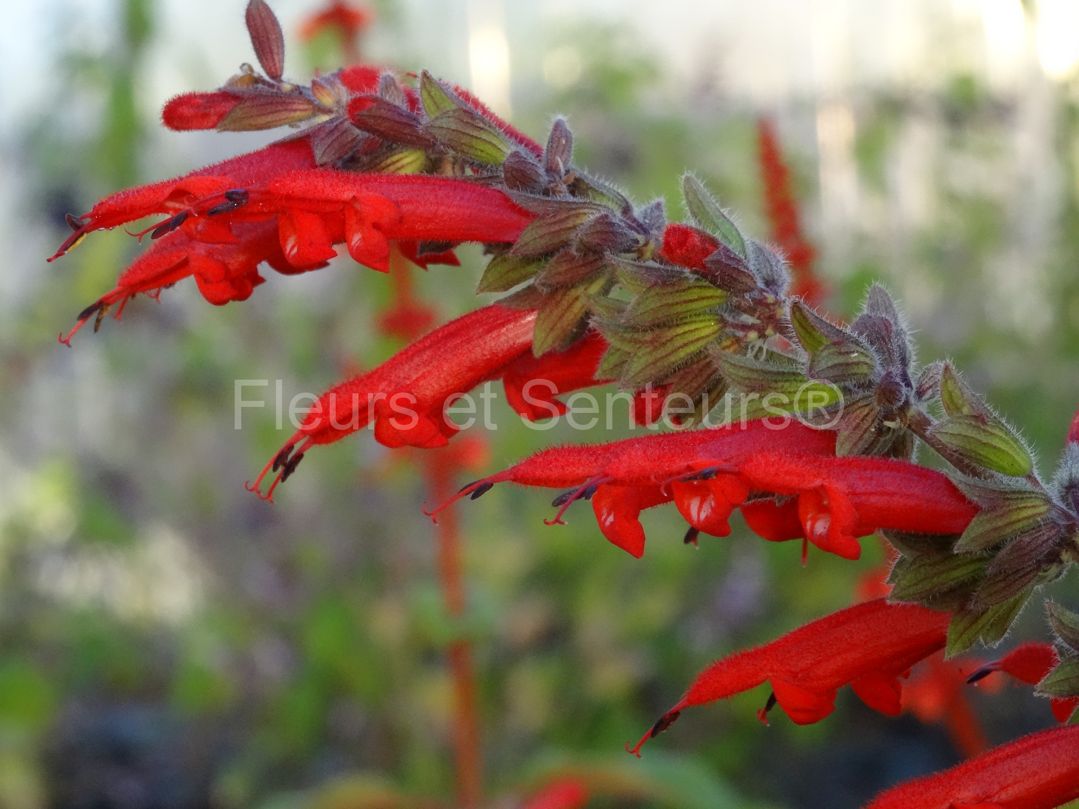 salvia Envy red form