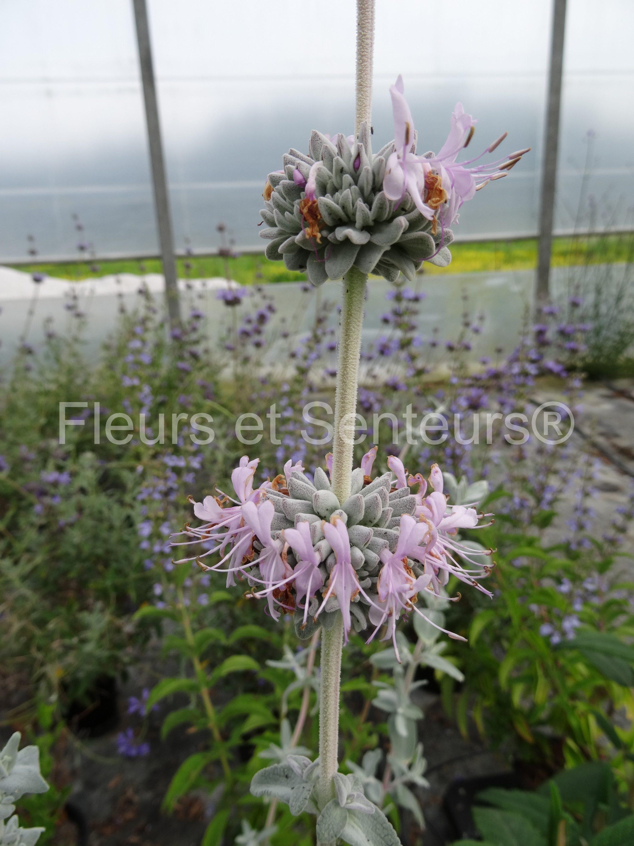 salvia leucophylla figueiroa