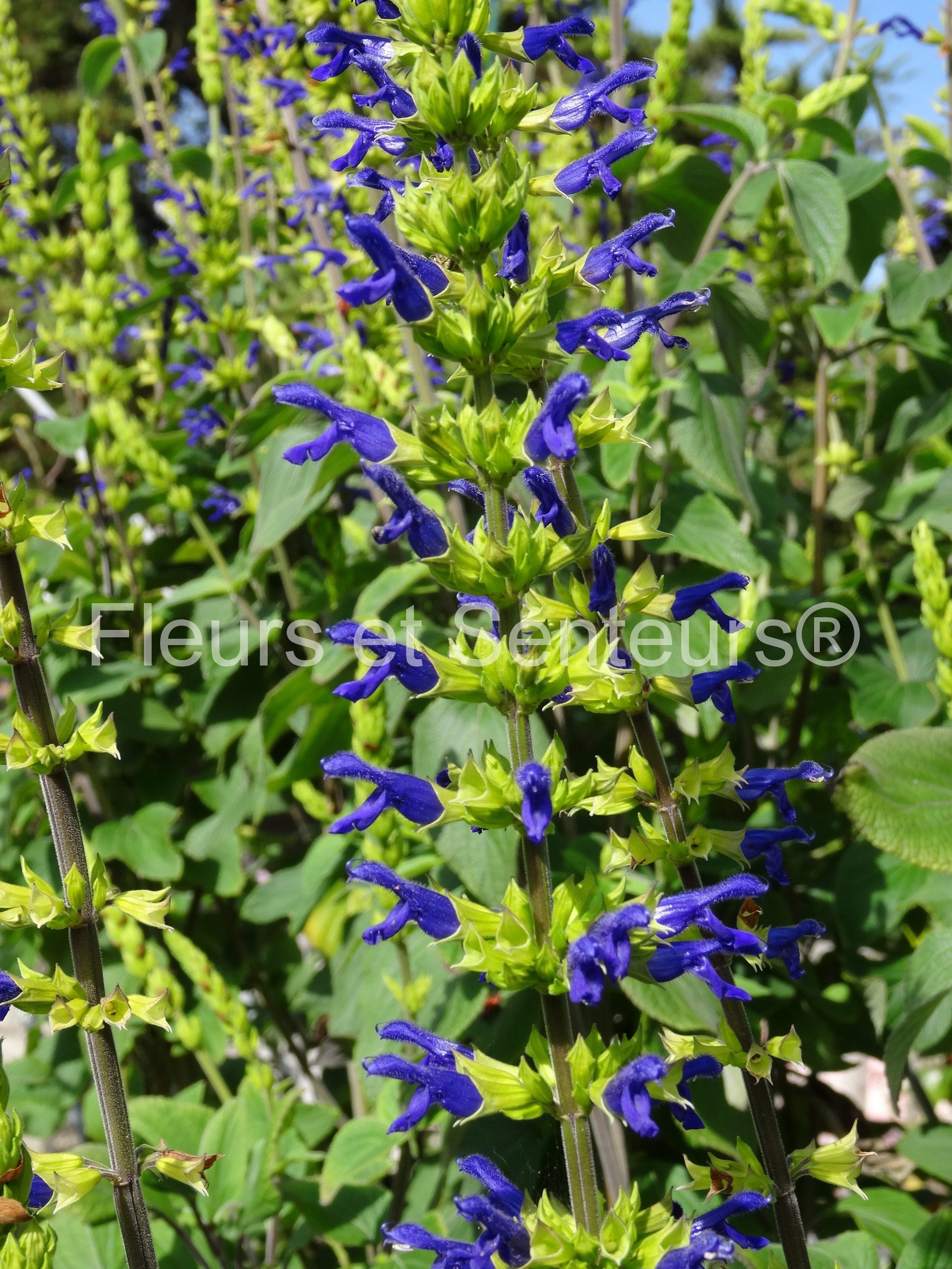 salvia mexicana minor