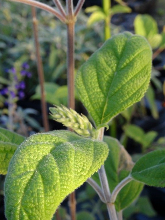 salvia bogotensis feuillage