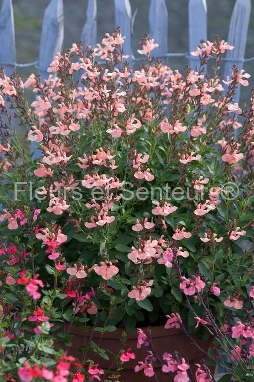 salvia microphylla Ribambelle en fleurs