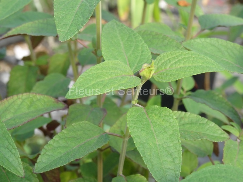 salvia Pink Mulberry feuillage