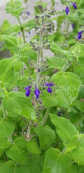 salvia biserrata